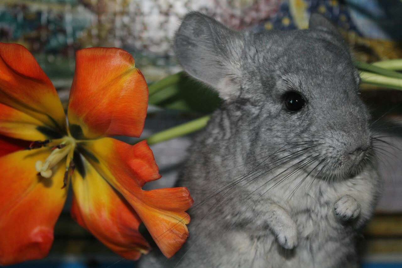 Flower Chinchilla