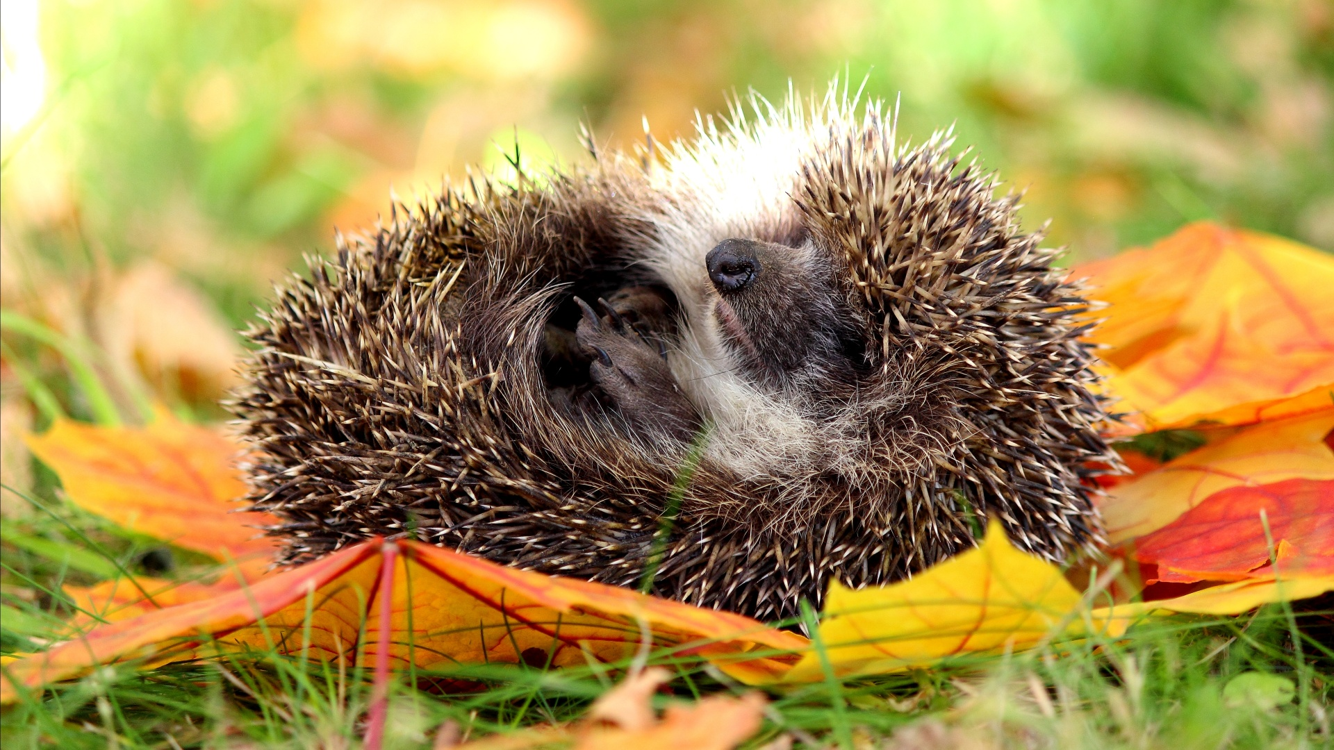 hedgehog_sleeping