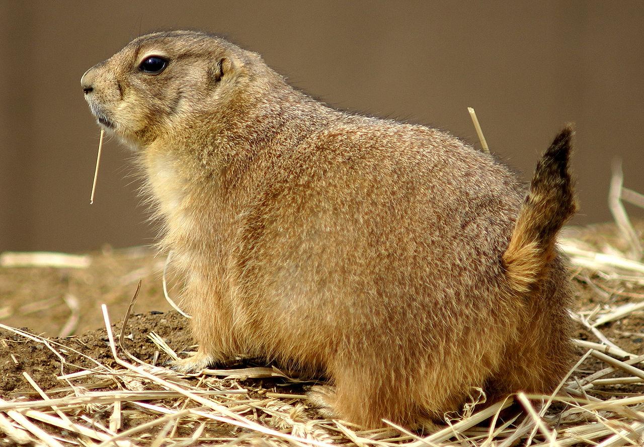 prairie-dog